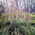 Outsidepride Plume Ornamental Grass Seeds