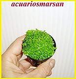 Desconocido Planta DE Acuario. HEMIANTHUS Cuba Planta TAPIZANTE