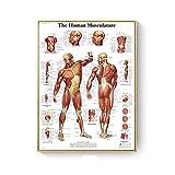 DFRES AnatomíA Humana Sistema Muscular ImpresióN De PóSter Acuarela Figuras Humanas Pinturas EducacióN MéDica Lienzo Arte De La Pared Decoracion De Oficina Cuadros 40x60cm Sin Marco