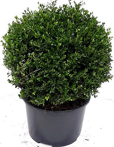 Ilex crenata Convexa, Kugel, Durchmesser: 45 cm, Alternative Buchsbaum + Dünger