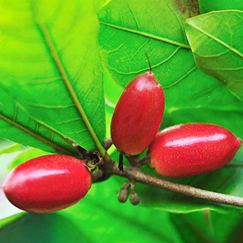 KINGDUO Egrow 20 Unids/Bolso Synsepalum Seeds Synsepalum Dulcificum Miracle Fruit Seeds Bonsai Fruit Seeds