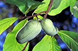 Potseed 5 Pata de la Pata de la Fruta India árbol de plátano Asimina Triloba Flor Semillas Peine S/H + Regalo