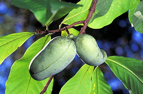 Potseed 5 Paw Paw Obstbaum Indian Banana Asimina Triloba Blumensamen Kamm S/H + Gift