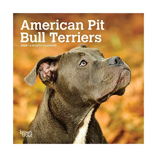 American Pit Bull Terriers 2020 7 x 7 Inch Monthly Mini Wall Calendar, Animals Dog Breeds 1