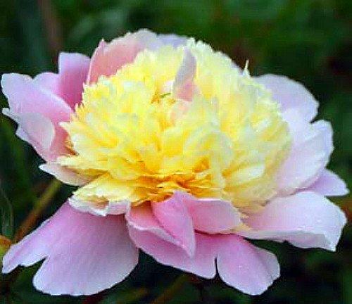 Nouvelle arrivée! Une variété de couleurs rares graines de pivoine chinois Plantation de fleurs et jardin Paeonia Suffruticosa Seeds 20 PCS G58 Rose jaune