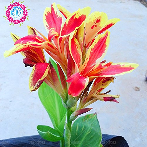 5pcs Canna indica seeds.Perennial énorme fleur d'herbes en pot pour les graines rougeâtres maison et jardin brun plant.Lily Variété Bonsai Seed 4