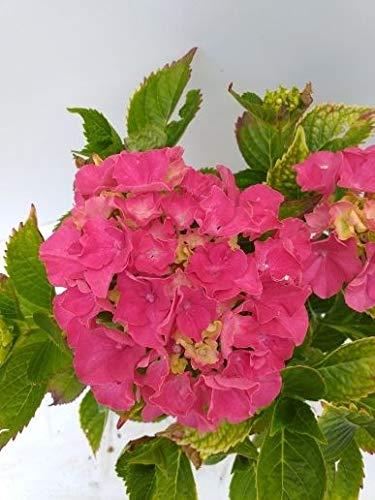 Späth Bauernhortensie 'Masja' LH 20-30 cm im 3 Liter Topf Hortensie winterhart Zierstrauch große Blüte 1 Pflanze