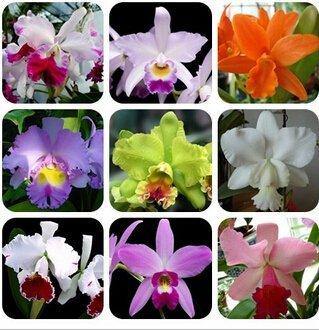 Cattleya Hybrida Blumensamen 100PCS Berühmte Blumen Orchideen Samen Bonsai Potted Büro Pflanze Schöne Blumen