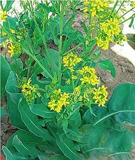 Green's Gardens Rare Heirloom 30 Isatis Indigotica Fort Radix Isatidis Seeds High Medicinal Values Easy Care E001