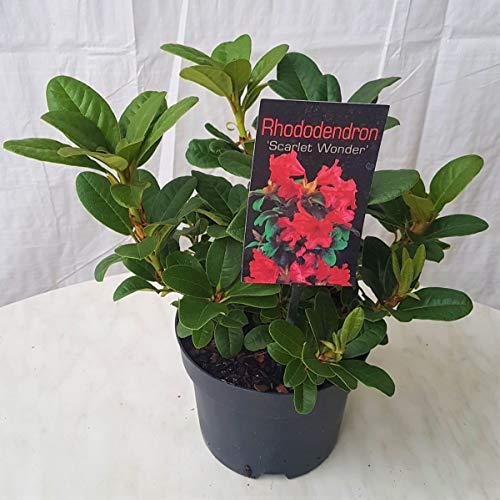 Müllers Grüner Garten Shop Rhododendron repens Scarlet Wonder Zwergrhododendron 35 cm im 2 Liter Topf
