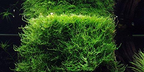 Java-Moos / Taxiphyllum barbieri - Javamoos - Handgrosse Portion