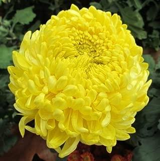 30 Double Yellow Paeony Aster Peony Callistephus Flower Seeds