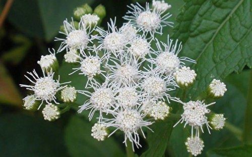 Pinkdose 400 Seeds: Floss Flower Seeds, ageratum houstonianum, Cloud Nine White-PEL, Early Variety. (400 Seeds)
