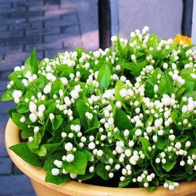 20 graines / paquet Balcon en pot graines de jasmin fleur facile à planter les graines saisons de semis de fleurs