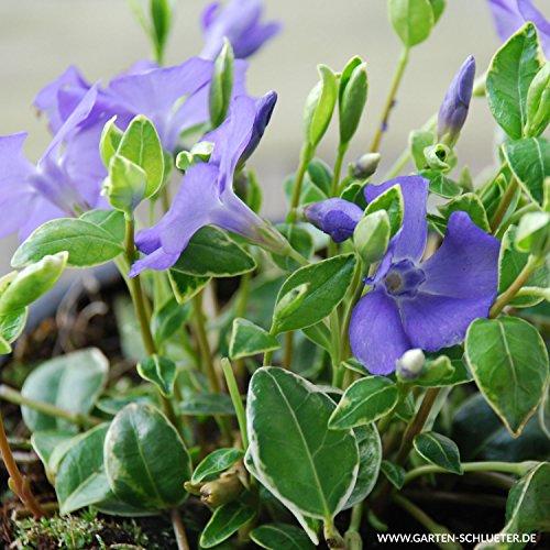 Vinca minor 'Argenteovariegata' - Weißbuntes Immergrün - Bodendecker mit blauen Blüten: unverwüstlich, winterhart - 1 Pflanze im 9 cm Topfballen von Garten Schlüter - Pflanzen in Top Qualität