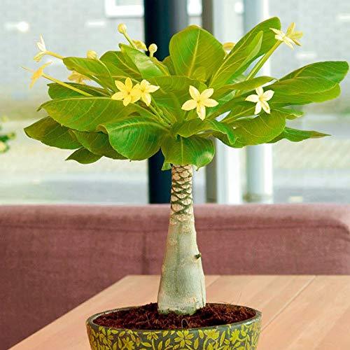 Qulista Samenhaus - Rarität 50pcs Mini-Zimmerpflanzen Grünpflanzen Blumensamen winterhart mehrjärhig