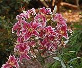 Stargazer Oriental Lilies (12 Pack of Bulbs) - Freshly Dug Flower Bulbs