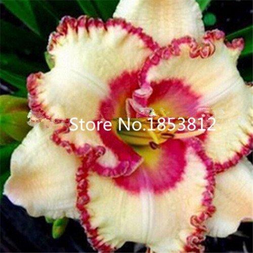 100 pcs / sac, semence Hemerocallis, féerique tawny, plantation en pot, saisons de plantation, plantes à fleurs Flower Seeds