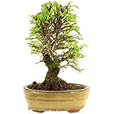 Bonsai externo semplici, rapida crescita Beh adatto per i principianti Produzione propria = basso prezzo + alta qualità Foglie piccole, quasi nessun parassiti Essi ricevono l'albero visualizzato sull'immagine