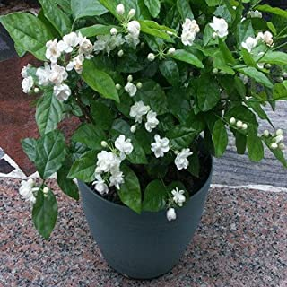 arabian jasmine plant for sale uk