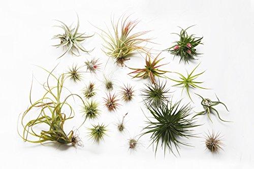 Tillandsien-Mix – 2 Pflanzen, für den Innenbereich, lebende Luftpflanze für Terrarium / Vivarium, kein Boden erforderlich