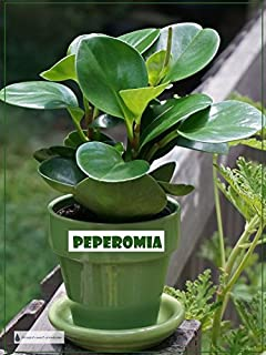 Peperomia Green Live Plant Foliage Plant Fit 4