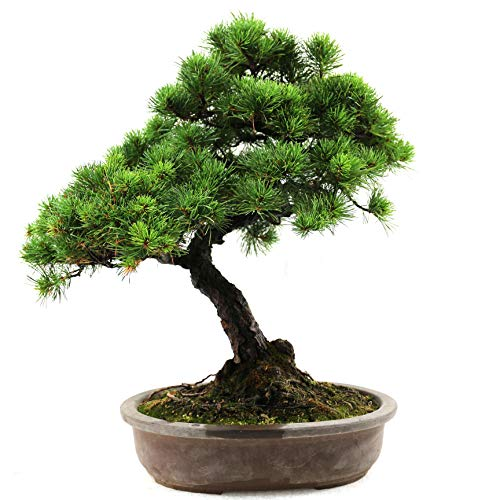 Japanische Mädchenkiefer, Pinus parviflora, Outdoor-Bonsai, 28 Jahre, Höhe 45 cm