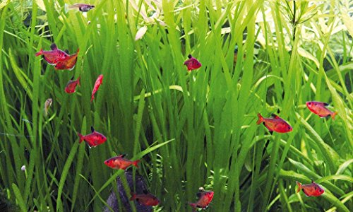 Deko im Trend Vallisneria Wasserpflanze Aquarium Vallisnerie 3xTonring