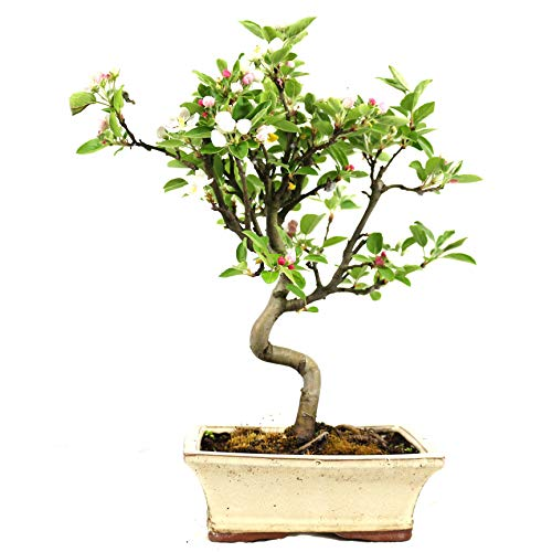 Manzano ornamental, Malus, bonsái para exterior, 8 años, altura 32 cm