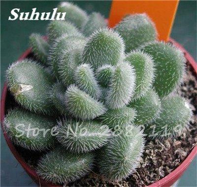 100 Pcs mixte vrai Cactus Seeds, Mini Cactus, Figuier, Graines Bonsai fleurs, vivaces herbes Plante en pot pour jardin 1
