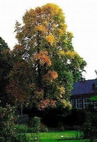 Tulpanträd – Hardy gul tulpe-träd – 10 färska frön