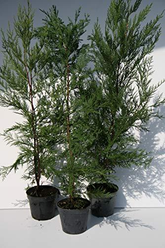 leylandii pianta da siepe pinetto in vaso diametro 12cm alta 40/60cm (20)