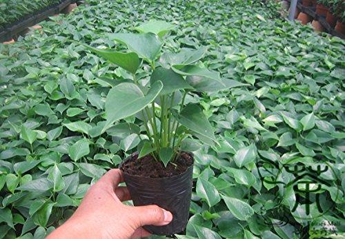 Cultivé Comme Houseplants Anthurium andraeanum Graines 20pcs, Graines Rich Couleur laceleaf Tailflower Fleur, Flamingo Fleur Bonsai Graines