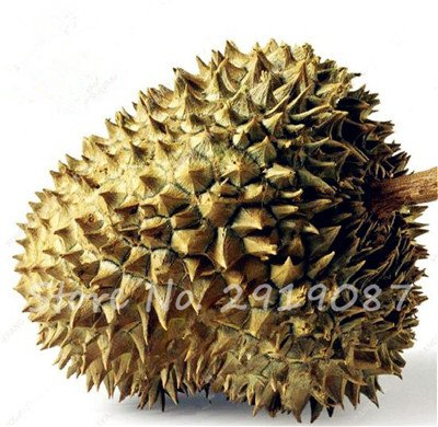 10 Pcs Durian Seeds délicieux roi de fruits sains Tropical Giant Trees Jardin Plantes Bonsaï Non-GMO Haute Nutrition 7