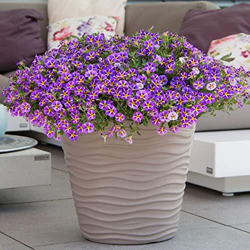 Yukio Samenhaus - Raritäten Gesterntes Zauberglöckchen Rave Violett Bienenfreundlich Blumensamen regenfestwinterhart mehrjährig, Blühfreudig bis in den späten Herbst