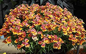BloomGreen Co. Graines de fleurs: Nemesia Sun Variées Plantes de jardin Semences pour la Terrasse couverte (17) Packets Jardin Graines de plantes