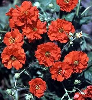 Geum (Avens) flora plena Red Dragon 1,000 seeds