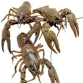 Toledo Goldfish Live Crayfish for Ponds Aquariums or Tanks – USA Born and Raised – Live Arrival Guarantee 10 Count