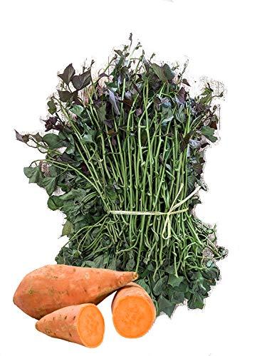 Plantas de boniatos frescas y naturales de la variedad California para cultivar. Es la clase de Batata más sabrosa y dulce. Envío en 24 horas. Venta disponible solo a Espana peninsular. (20 plantas)