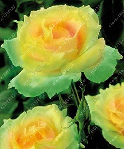 100pcs / sac rose graines Double Delight Hybrid Tea Rose graines de fleurs bonsaï belle pétales de roses vivaces pour plantes de jardin à la maison 23