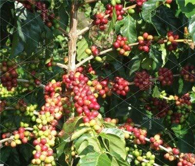5 Pz Chicco di caffè Bonsai Casa- coltivate Chicco di Cacao Balcone Bonsai pianta dei Bonsai caffè Cherry Bonsai casa Graden Piante: 2