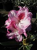 Späth Rhododendron-Hybride 'Hachmann's Charmant' Heckenpflanze immergrün Zierstrauch blühend 1...