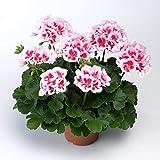Pflanzen Kölle Geranie 'American White Splash', 6er-Set, weiß-rosa, Topf 13 cm Ø