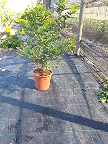 Mimosa dealbata Gaulois 100-120 cm Busch Silber-Akazie gelbe Mimose Wintermimose
