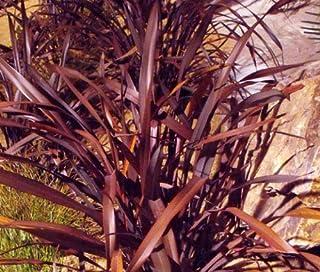 New Zealand Flax Purple Phormium Tenax Purpureum jocad (50 Seeds)