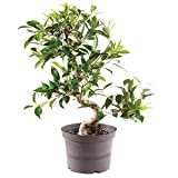 Brussel's Bonsai Live Golden Gate Ficus Indoor Bonsai Tree - 7 Years Old 8' to 10' Tall with Plastic Grower Pot, Medium,