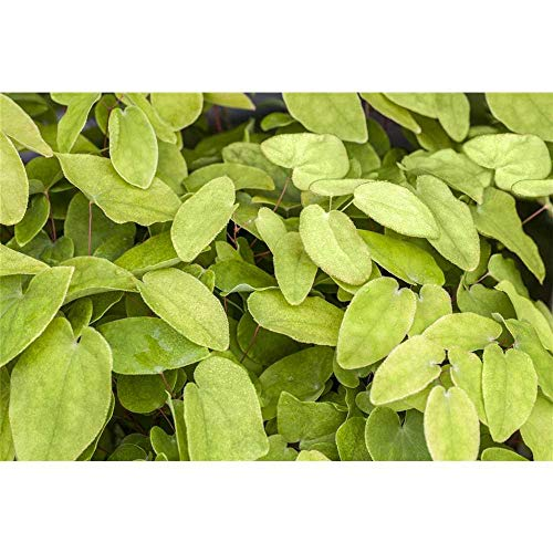 Epimedium x rubrum - Garten-Elfenblume - 9cm Topf