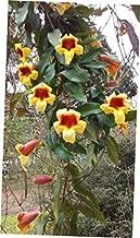 plantyours Live Plants Tangerine Beauty Bignonia CAPREOLATA Cross Vine Yellow Orange Flower - RK203