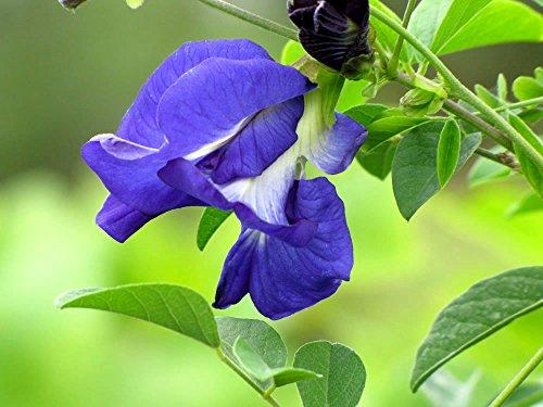 10 Samen Erbsen/Hülsenfrüchte (Fabaceae) Schmetterling (Clitoria ternatea)