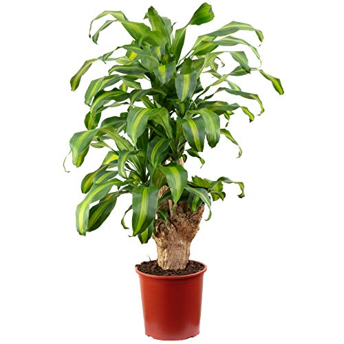 Drachenbaum 3-Stamm - Dracaena fragrans massangeana - Höhe ca. 120 cm, Topf-Ø 27 cm
